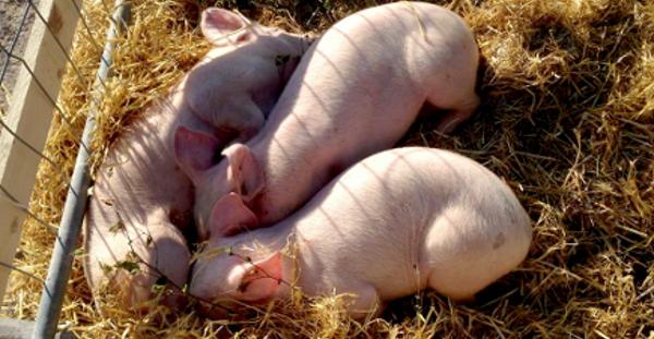 Maatilojen eläimet ihastuttavat farmialueella